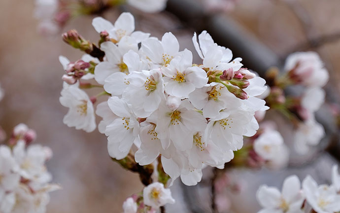 Visit my Cherry Blossoms Gallery