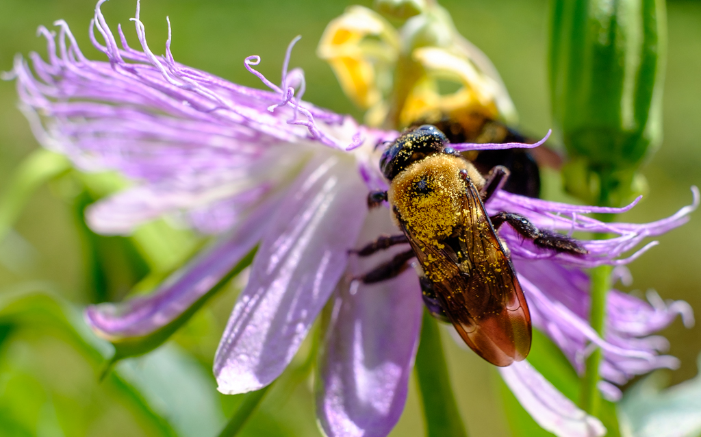 Large Carpenter Bee Covered in Pollen