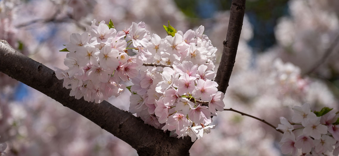 New Gallery: Cherry Blossoms in DC 2018