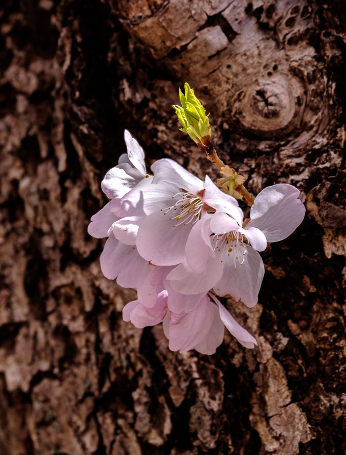Visit my Cherry Blossoms 2018 Gallery